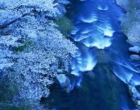 福島県 摺上川と桜