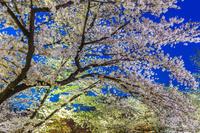 京都府 京都府立植物園の夜桜 ソメイヨシノ