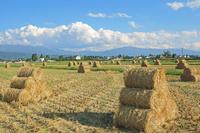 長野県 稲のロール