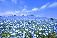 茨城県 ネモフィラの咲くひたち海浜公園