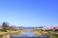 京都府 桜咲く賀茂川