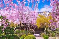 京都府 桜の法金剛院