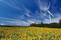 福島県 布引高原 ひまわりと風力発電