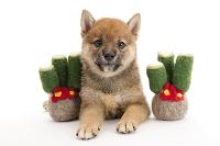 シバ 門松と仔犬