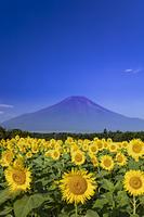 ひまわり畑と富士山
