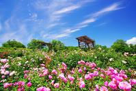 長野県 上田市 信州国際音楽村 ガードルドジェキルなどのバラ...