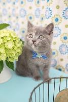 ブリティッシュショートヘア(ブルー&クリーム)の仔猫