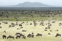タンザニア オグロヌーの群れ