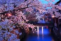 京都府 祇園白川 夜桜 ライトアップ