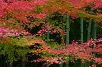 京都府 嵯峨野 紅葉と竹林