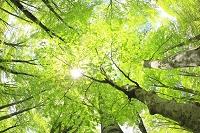 秋田県 岳岱ブナ林 ブナ林と木漏れ日