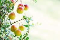 クランベリーの木と実