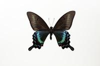 蝶 標本 ミヤマカラスアゲハ 日本