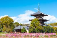 奈良県 法起寺とコスモス畑