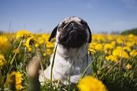 タンポポ畑の中のパグ 犬