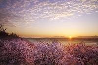 北海道 深山峠の桜と大雪山の日の出