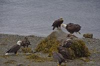 アメリカ アラスカ ジュノー ハクトウワシ成鳥と幼鳥