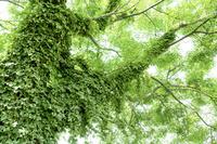 ツタの葉に覆われた木