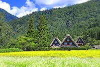 岐阜県 そば畑と白川郷