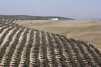 ハエン県 広大なオリーブ畑と家
