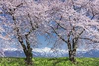 富山県 桜と北アルプス