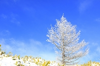 長野県 美ヶ原高原 霧氷のカラマツの木と青空