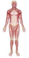 人体の筋肉構造