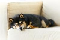 ソファに寝そべる柴犬