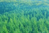 山梨県 荒川林道 新緑のカラマツ林
