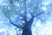 霧の中のブナの大木
