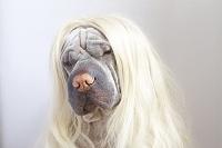 金髪のウィッグをつけているシャー・ペイ 犬