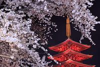 東京都 浅草寺の夜桜