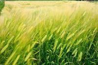 北海道 風で揺れる大麦