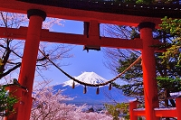 山梨県 桜と富士浅間神社の鳥居と富士山