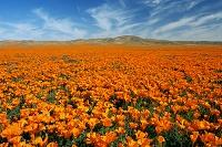 カリフォルニア 花畑