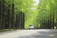 静岡県 メタセコイア 並木道