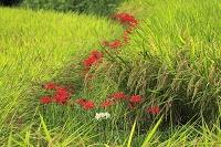 田の畔道に咲くヒガンバナ
