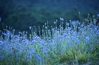 鳥取県 桝水高原のマツムシソウ