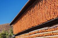 山梨県 干し柿の里 枯露柿(ころ柿)