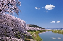 宮城県 一目千本桜
