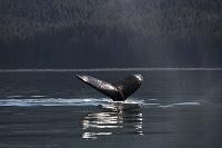 アメリカ アラスカ ポイントアドルフス ザトウクジラの尾