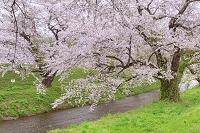 山形県 鶴岡市 馬渡の桜