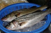 スズキの魚