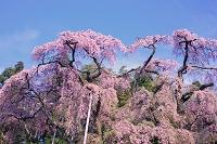 紅枝垂地蔵桜