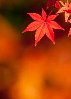 橙色のモミジの葉
