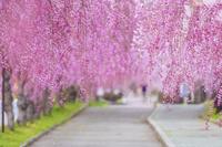 福島県 日中線記念自転車歩行者道のさくら並木