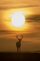 夕陽に浮かぶアカシカのシルエット