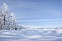 北海道 カラマツ霧氷