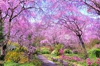 京都府 サクラの咲く原谷苑