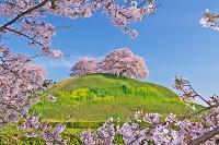 埼玉県 丸墓山古墳と桜